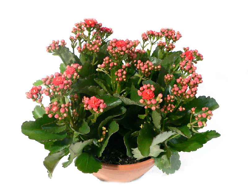 Kalanchoe fleuriste nature et tendance barbatre for Plante toxique chat